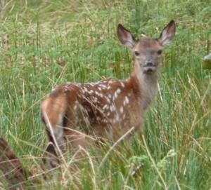 Deer calf - resized