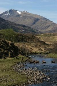 Glen Strathfarrar - deer wading river